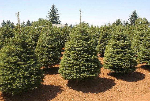 Sabes de donde proviene la tradicion del Árbol de Navidad