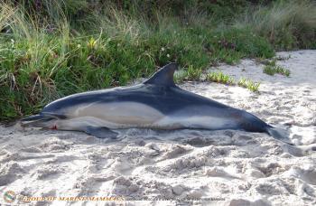 Diez delfines muertos en el Morrazo en un fin de semana