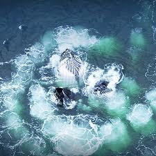 Ballenas en busca de su comida en equipo