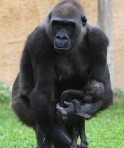 gorilla-mourns