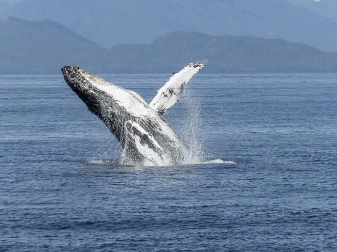humpback-whale-436115_1920-660x550