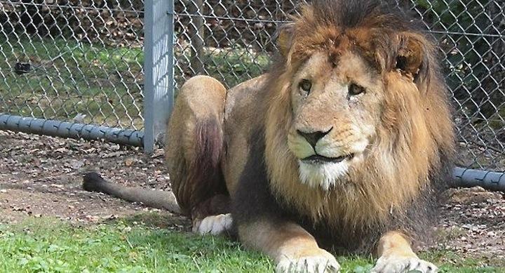 Zoo-mata-leones-