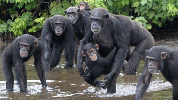 _91302102_chimpances