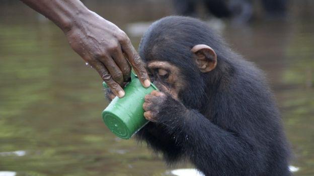 _91302106_chimpances2