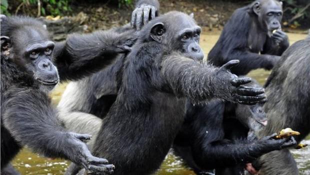 _91302170_chimpances_getty2