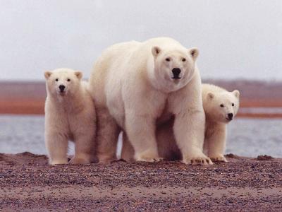osos-polares_0-1