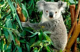 world_australia_koala___australia_008976_1-320x210