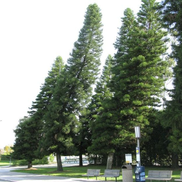 _96350257_cook-pine-leaning-ucal